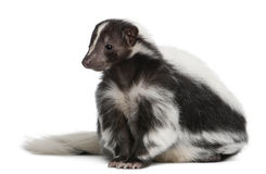 Striped Skunk, Mephitis Mephitis, 5 years old royalty free stock image