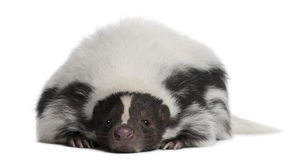 Striped Skunk, Mephitis Mephitis, 5 years old Royalty Free Stock Photography