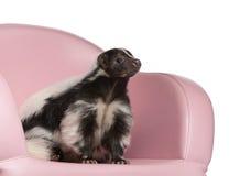 Striped Skunk, Mephitis Mephitis, 5 years old Stock Photos