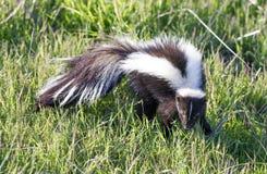 Striped Skunk Mephitis mephitis in alert. royalty free stock photo