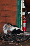Striped Skunk (Mephitis mephitis) Attempts to Enter Home Royalty Free Stock Images