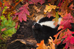 Striped Skunk (Mephitis mephitis) in Autumn Leaves Stock Photo