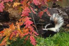 Striped Skunk (Mephitis mephitis) By Autumn Leaves and Log Royalty Free Stock Photography