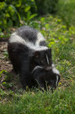 Striped Skunk (Mephitis mephitis) Carries Kit Stock Images