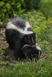 Striped Skunk (Mephitis mephitis) Carries Kit. Captive animal Stock Images