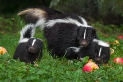 Free Striped Skunk Mephitis Mephitis Doe And Two Kits In Apple Strewn Grass Summer Royalty Free Stock Images - 194613489