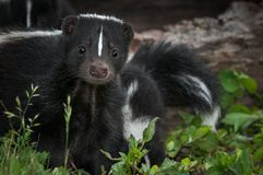 Striped Skunk Mephitis mephitis Doe Peers Out From Ground Summer. Captive animal stock photo