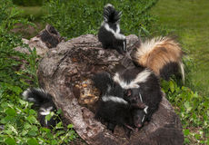 Striped Skunk (Mephitis mephitis) Family Royalty Free Stock Images