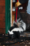 Striped Skunk (Mephitis mephitis) Gets Swept Out Door Royalty Free Stock Photo