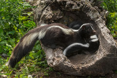 Striped Skunk (Mephitis mephitis) Glances Away from Kits Stock Photo