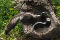 Striped Skunk (Mephitis mephitis) Glances Away from Kits. Captive animals Stock Photo