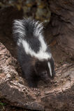 Striped Skunk Mephitis mephitis Kit Creeps Out of Log Royalty Free Stock Photo