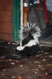 Striped Skunk Mephitis mephitis Leaves House Royalty Free Stock Photos