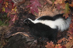 Striped Skunk (Mephitis mephitis) Looks Left in Log Stock Photos