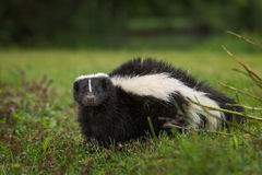 Striped Skunk Mephitis mephitis Looks Out from Ground. Captive animal Royalty Free Stock Photos