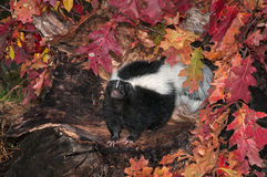 Striped Skunk (Mephitis mephitis) Looks Out from Log Royalty Free Stock Photography