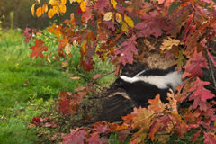 Striped Skunk (Mephitis mephitis) Looks Out from Log and Leaves Royalty Free Stock Image