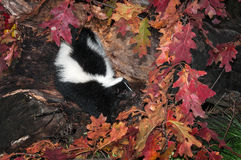 Striped Skunk (Mephitis mephitis) Looks Right Out of Log Stock Images
