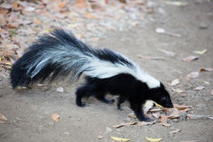 Striped Skunk - Mephitis mephitis. Rancho San Antonio County Park, California. Royalty Free Stock Images