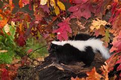 Striped Skunk (Mephitis mephitis) Sits on Log Royalty Free Stock Photo