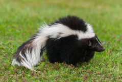Striped Skunk (Mephitis mephitis) Stands Facing Right Stock Image