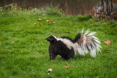 Striped Skunk Mephitis mephitis Stands in Grass Facing Left Stock Photography