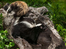 Striped Skunk (Mephitis mephitis) Stands in Log Stock Photos