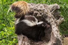 Striped Skunk (Mephitis mephitis) Stands in Log Royalty Free Stock Photo