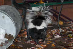 Striped Skunk (Mephitis mephitis) Stands Near Dumped Trash Can Royalty Free Stock Photo