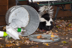 Striped Skunk (Mephitis mephitis) Stands Near Trash Can Stock Image