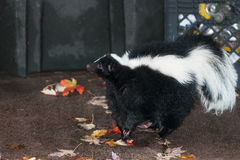 Striped Skunk (Mephitis mephitis) Stands Near Waste Bins Royalty Free Stock Images