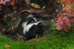 Striped Skunk (Mephitis mephitis) Stands Next to Autumn Leafed L. Og - captive animal stock images