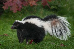 Free Striped Skunk Mephitis Mephitis Stands To Left Stock Photography - 98462562