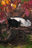 Striped Skunk Mephitis mephitis Stands to Right in Fall Leafed. Log - captive animal stock photos