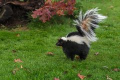 Striped Skunk Mephitis mephitis Stands Up Tall Arching Tail Stock Image