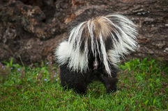 Striped Skunk Mephitis mephitis Tail to Viewer Royalty Free Stock Images