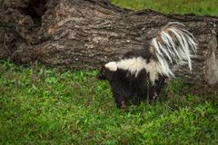 Striped Skunk Mephitis mephitis Tail Up Near Log Royalty Free Stock Images