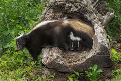 Striped Skunk (Mephitis mephitis) with Two Kits Under Tail Royalty Free Stock Photography