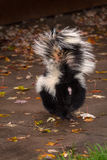 Striped Skunk (Mephitis mephitis) Walks Away Tail Lifted Royalty Free Stock Photography