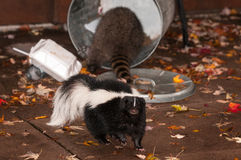Striped Skunk (Mephitis mephitis) Walks Away from Trash Can with Stock Photography
