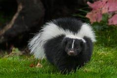 Striped Skunk Mephitis mephitis Walks Forward in Grass. Captive animal Stock Images