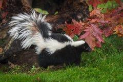 Striped Skunk Mephitis mephitis Walks Left. Captive animal Stock Photography
