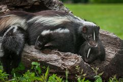 Striped Skunk Mother Mephitis mephitis and Kits on Log Stock Photo