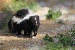 Striped skunk. The striped skunk strolling on the soil Stock Images