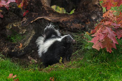 Striped Skunk (Mephitis mephitis) Stands Next to Autumn Leafed L Stock Images