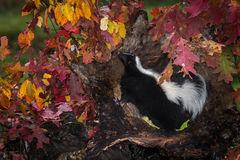 Striped Skunk (Mephitis mephitis) Stands Up to Sniff Stock Photo