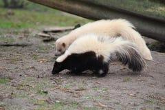 Striped skunks. Striped skunk in the habitat in enclosure. Foto taken in aqua zoo Friesland in Leeuwarden Royalty Free Stock Image