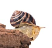 Striped snail. Bright striped snail on the old stub isolated over white background Stock Photo