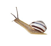 Striped snail isolated on white, vineyard snail Royalty Free Stock Photos