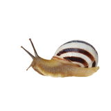 Striped snail isolated on white, vineyard snail Stock Image